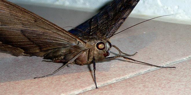 La mariposa del pas de los muertos